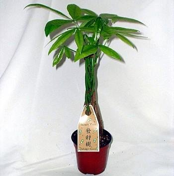 "5 Money Tree Plants Braided into 1 Tree -Pachira-4"" Pot (Chinese new year gifts 2014)"