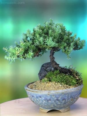 Juniper Bonsai Tree in Japanese Setku Bowl