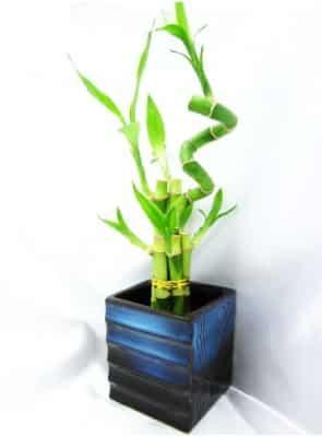 9GreenBox Spiral Style Lucky Bamboo Plant Arrangement