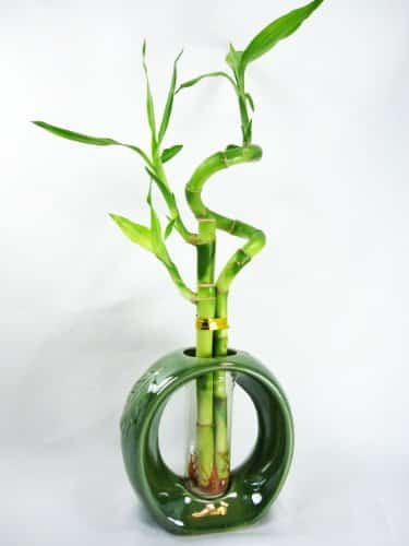 9GreenBox Live Spiral Lucky Bamboo with Vase