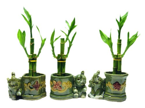 Lucky Bamboo with Elephant Vase