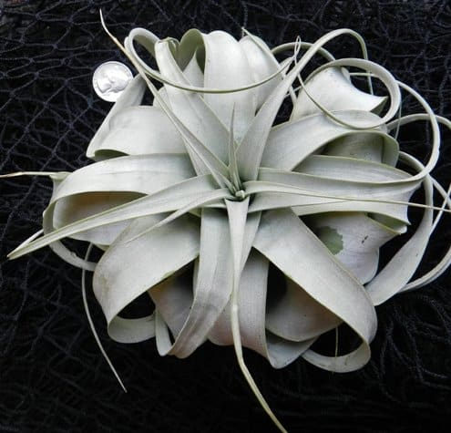 Xerographica King of Air Plant