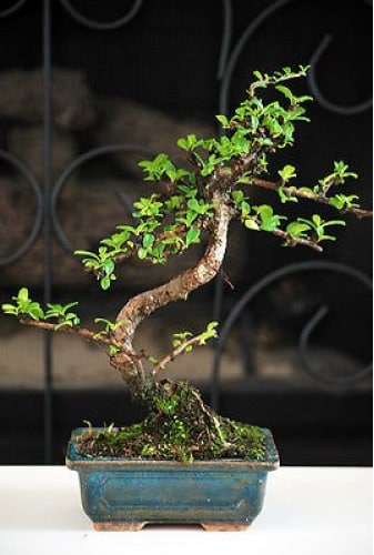 9GreenBox Fukien Tea Bonsai Tree