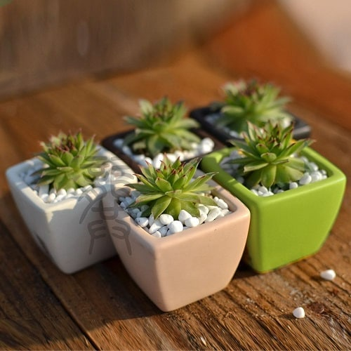 Set of 5 Sempervivum Tectorum Succulents