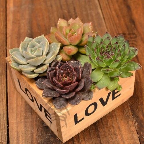 DIY Succulents Plant Kit