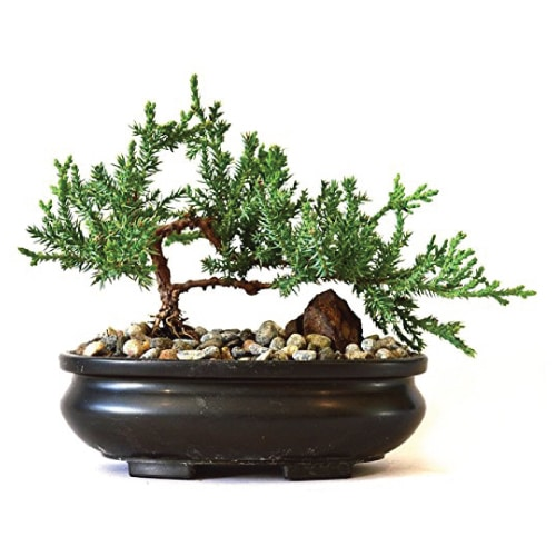 Juniper Tree Bonsai Plant
