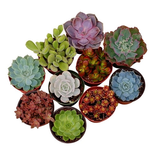 Mini Succulent Plants (Back to school teacher gifts)