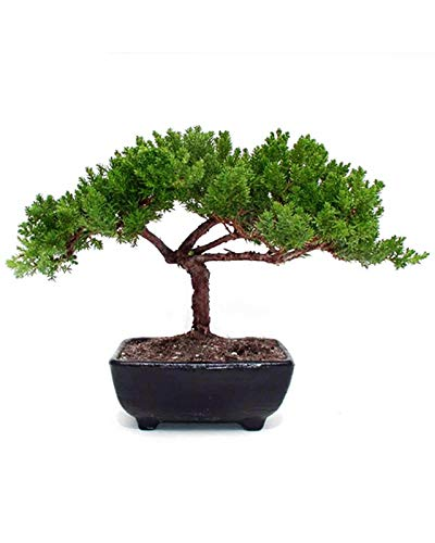 Small Juniper Bonsai Live Plant